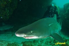 Ragged Tooth Shark of Aliwal Shoal Scuba Diving
