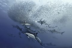 Common Dolphins Form Baitballs