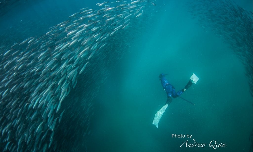 Free Diving on Sardine Run