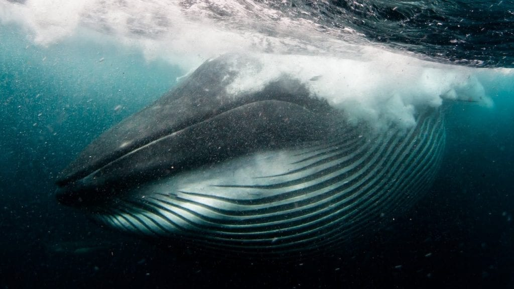 Brydes Whales are a common sighting at Sardine Run South Africa