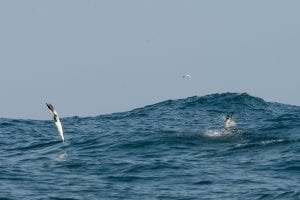 Gannets turn themselves into harpoons entering the water